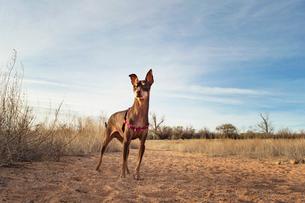 Brown Miniature Pinscher standing in field against skyの写真素材 [FYI03688370]