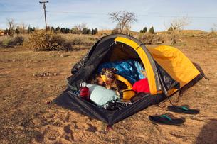 Miniature Dachshund sitting by man sleeping in tent on fieldの写真素材 [FYI03688371]