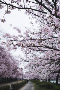 Pink flowers blooming on branches at parkの写真素材 [FYI03689269]