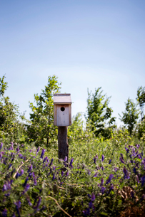 Birdhouse on lavender field against clear skyの写真素材 [FYI03692470]