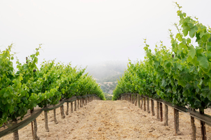 Rows of grape plants at vineyard against skyの写真素材 [FYI03693801]
