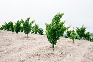 Grape plants on field against clear skyの写真素材 [FYI03693803]