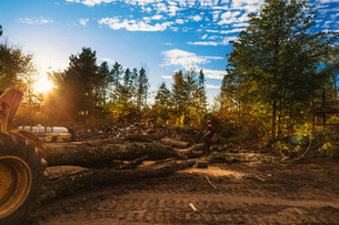 Man cutting logs by trees on field in forest during sunsetの写真素材 [FYI03696828]