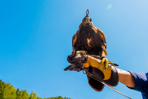 Low angle view of golden eagle perching on man's hand against clear skyの写真素材 [FYI03697052]