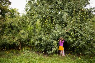 Girl picking pears form tree in farmの写真素材 [FYI03697271]