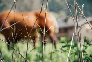 Close-up of dried plant with blur horse in backgroundの写真素材 [FYI03698146]