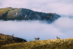 Animals on field by clouds covering mountainsの写真素材 [FYI03698174]