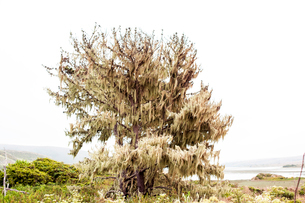 Spanish moss tree against clear skyの写真素材 [FYI03700730]