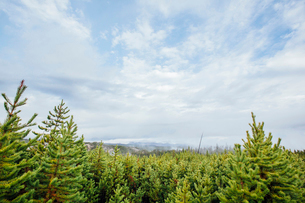 Pine trees growing in forest against cloudy skyの写真素材 [FYI03703629]