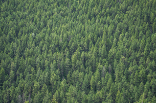 High angle view of pine trees growing in forestの写真素材 [FYI03703739]