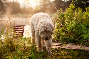 Soft Coated Wheaten Terrier walking on grassy fieldの写真素材 [FYI03703995]