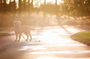 Golden Retriever standing on road during sunny dayの写真素材 [FYI03705796]