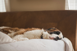 Saint Bernard sleeping on bed at homeの写真素材 [FYI03705893]