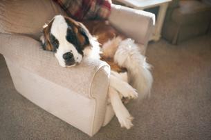 High angle view of Saint Bernard sleeping on chair at homeの写真素材 [FYI03705896]