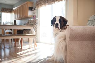 Portrait of Saint Bernard sitting on chair at homeの写真素材 [FYI03705904]
