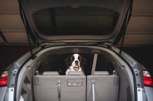Portrait of Saint Bernard seen through open car trunkの写真素材 [FYI03705920]