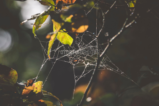 Close-up of spider web on plantの写真素材 [FYI03707549]