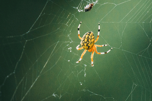 Close-up of spider on webの写真素材 [FYI03707556]