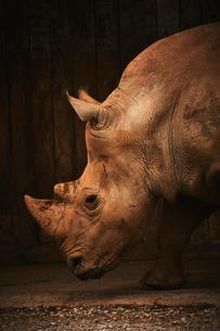Close-up of rhinoceros in zooの写真素材 [FYI03707712]