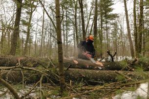 Lumberjack working in tree in forestの写真素材 [FYI03707892]