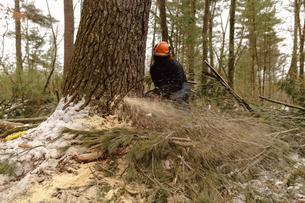 Lumberjack sawing tree in forestの写真素材 [FYI03707896]