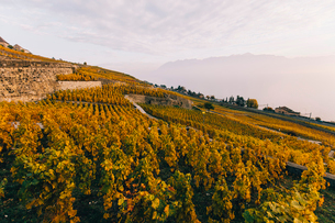 Scenic view of vineyard against cloudy sky during sunsetの写真素材 [FYI03707919]