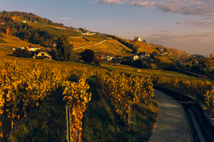 Scenic view of vineyard against sky during sunsetの写真素材 [FYI03707921]
