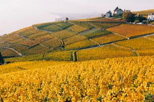 Scenic view of vineyard against skyの写真素材 [FYI03707924]