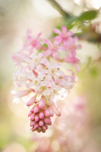 Close-up of pink flowers blooming outdoorsの写真素材 [FYI03709118]
