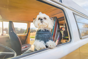 Shih Tzu standing by window while traveling in motor homeの写真素材 [FYI03709277]