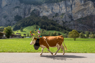 Side view of cow wearing flowers and bell while walking on road by mountainの写真素材 [FYI03709434]