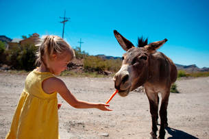 Girl feeding carrot to donkey while standing on dirt road against clear sky during sunny dayの写真素材 [FYI03710242]