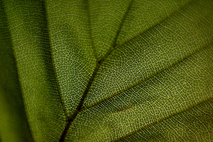 Close-up of green textured leafの写真素材 [FYI03715856]