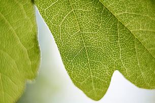 Close-up of textured leafの写真素材 [FYI03715955]