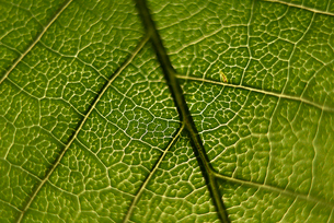 Overhead view of green textured leafの写真素材 [FYI03716004]