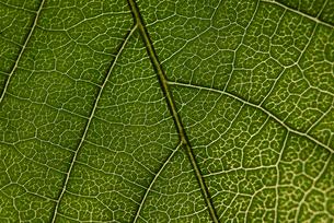 Overhead view of textured leafの写真素材 [FYI03716012]