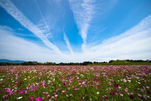 コスモス畑と飛行機雲の写真素材 [FYI03716390]