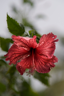 Close-up of wet hibiscus blooming outdoorsの写真素材 [FYI03718807]