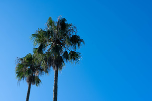 ヤシの木の写真素材 [FYI03718906]