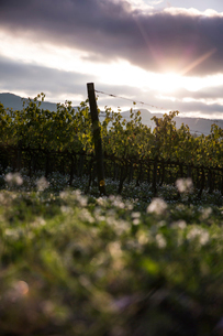 Low angle view of vineyard against cloudy skyの写真素材 [FYI03718975]