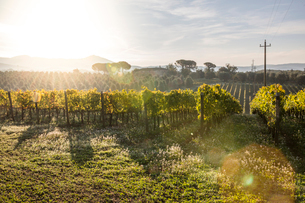 Scenic view of vineyard during sunny dayの写真素材 [FYI03718976]