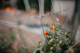 High angle view of cherry tomatoes growing on plantの写真素材 [FYI03719267]