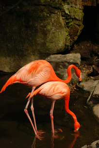 Flamingos in pond at zooの写真素材 [FYI03720228]