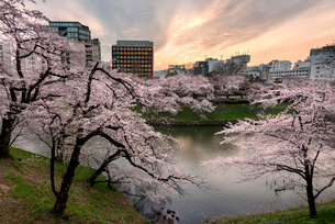 Cherry trees at riverbank against buildings in cityの写真素材 [FYI03720233]