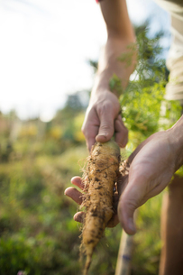 Cropped hands of man holding carrot while standing at community gardenの写真素材 [FYI03723121]