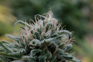 Extreme close-up of fresh buds growing on cannabis plant in greenhouseの写真素材 [FYI03724273]