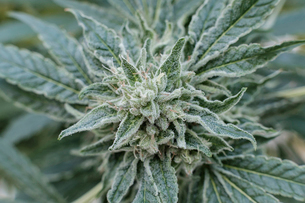 High angle view of buds growing on cannabis plant in greenhouseの写真素材 [FYI03724275]
