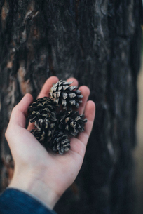 Cropped hand of woman holding pine cones by tree trunk in forestの写真素材 [FYI03724485]