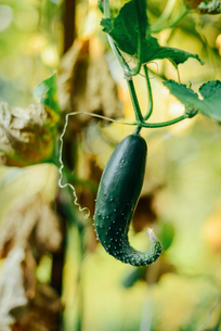 Close-up of cucumber growing on creeper plant at vegetable gardenの写真素材 [FYI03724508]