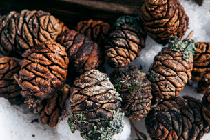 Close-up of pine cones on snow covered field in forestの写真素材 [FYI03728866]
